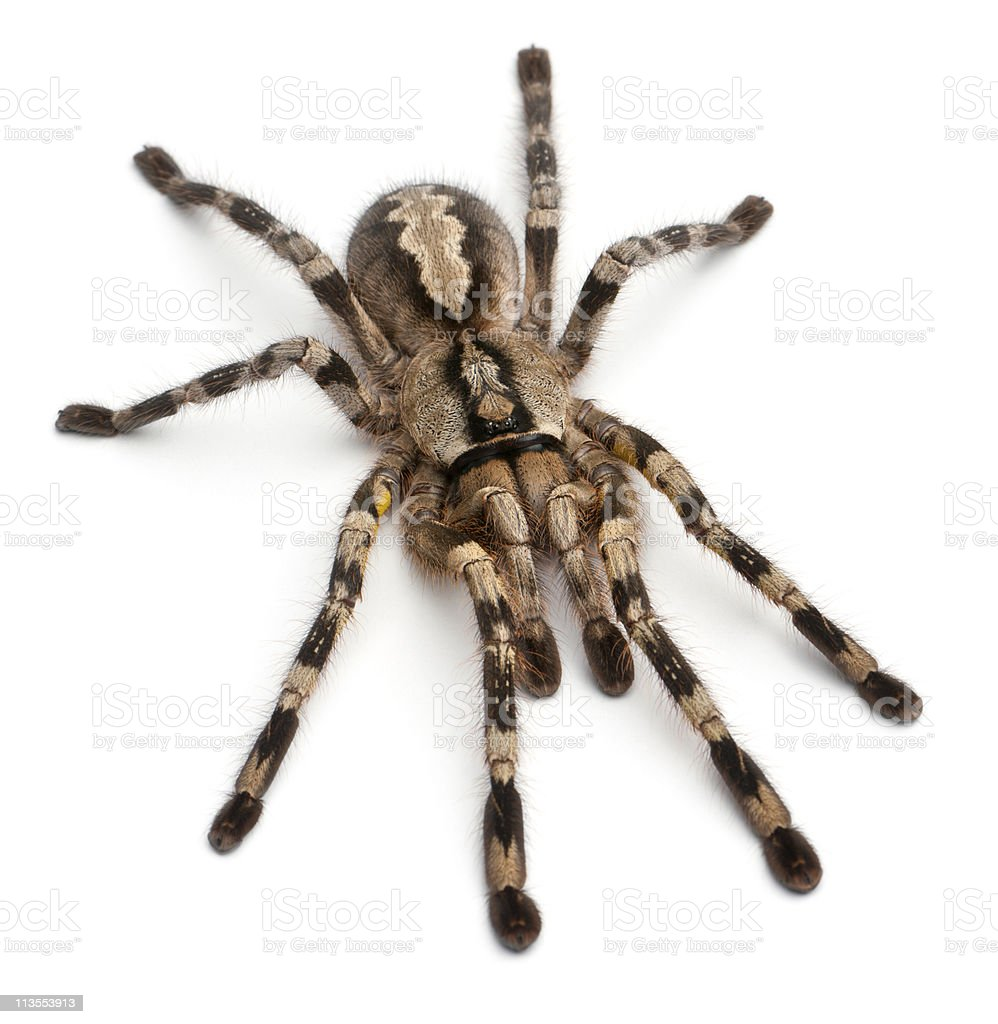 High angle view of Tarantula spider, Poecilotheria Fasciata, white background. stock photo