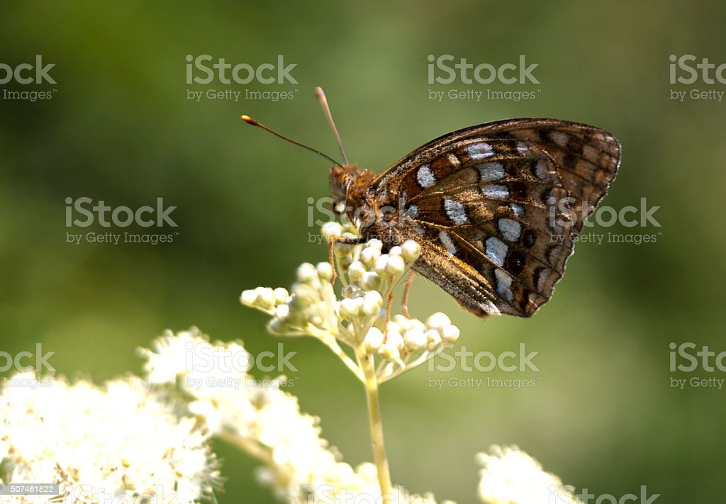 High Brown Fritillary butterfly, Fabriciana adippe royalty-free stock photo