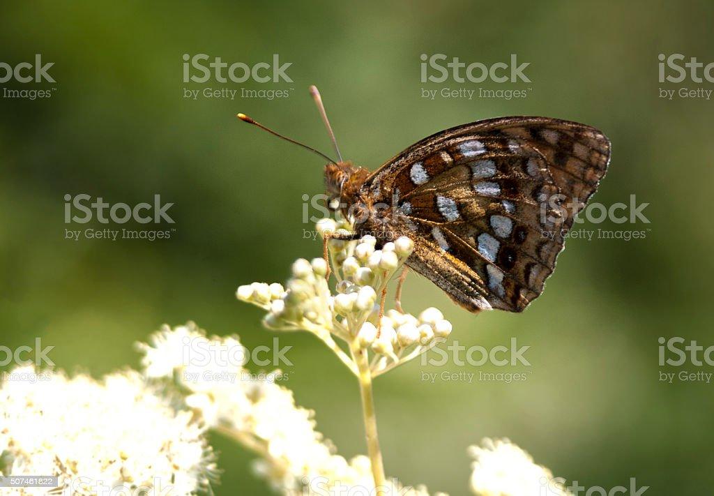 High Brown Fritillary butterfly, Fabriciana adippe stock photo
