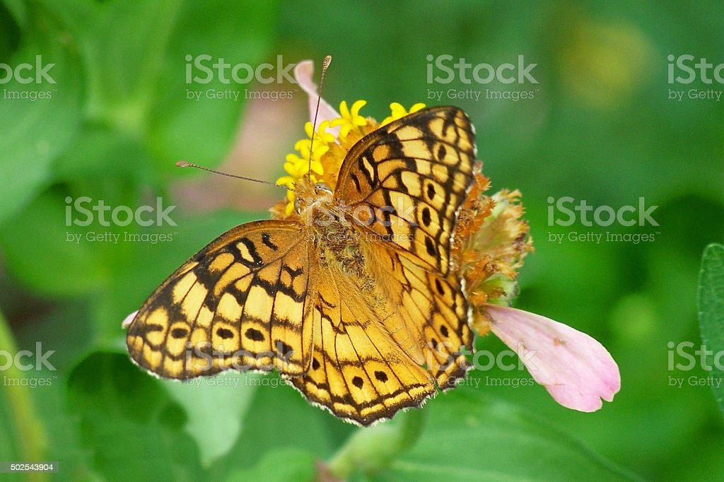 High Brown Fritillary stock photo