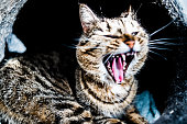 High contrast cat roaring in his house