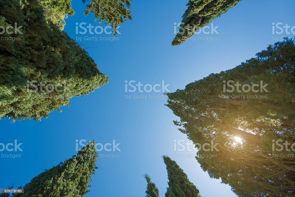 high cypress trees - view to the sky with sunlight stock photo