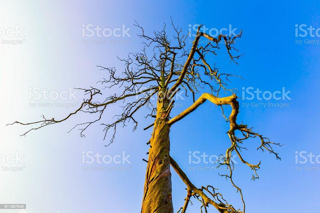 High  dead tree under blue sky stock photo