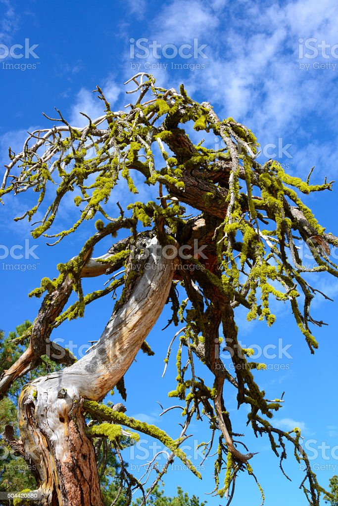 High desert Oasis tree with moss on dead branches. stock photo