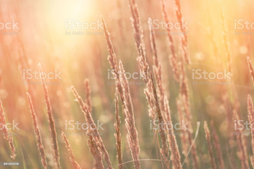 High dry grass, seeds of beautiful grass lit by sunlight in late afternoon sunset stock photo