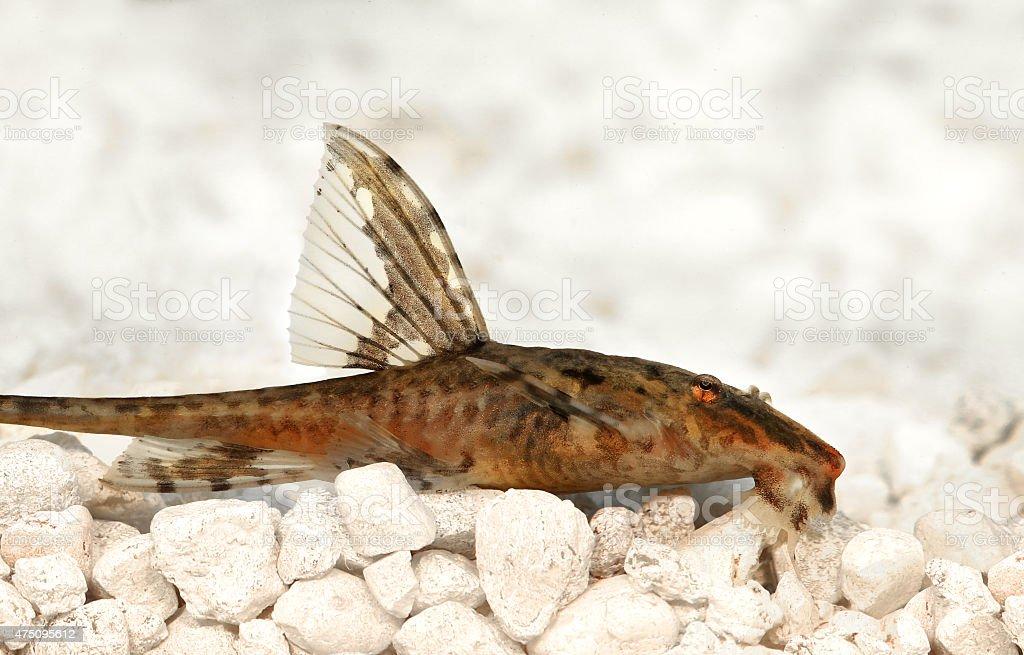 High fin whiptail catfish Rineloricaria lanceolata freshwater aquarium fish stock photo