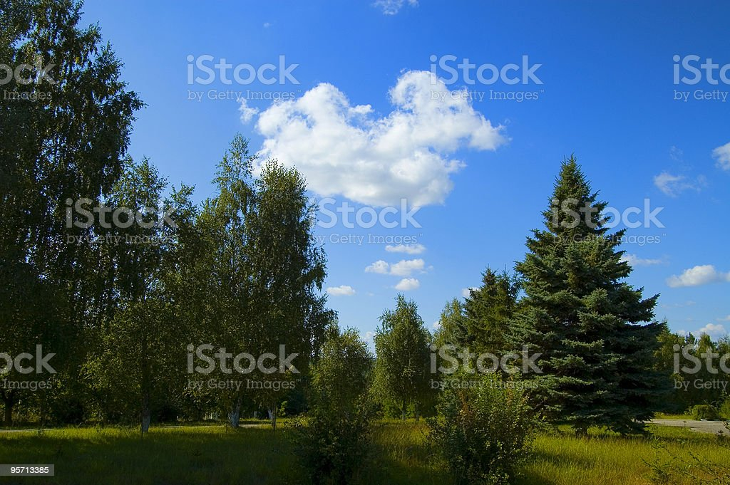 high firs stock photo