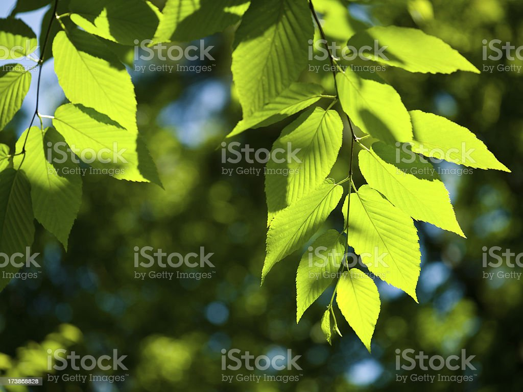 High Key Beech leaves stock photo