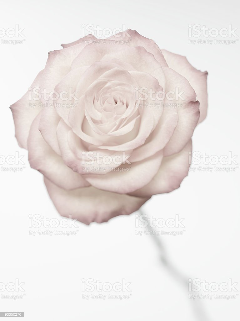 XXL high key rose royalty-free stock photo