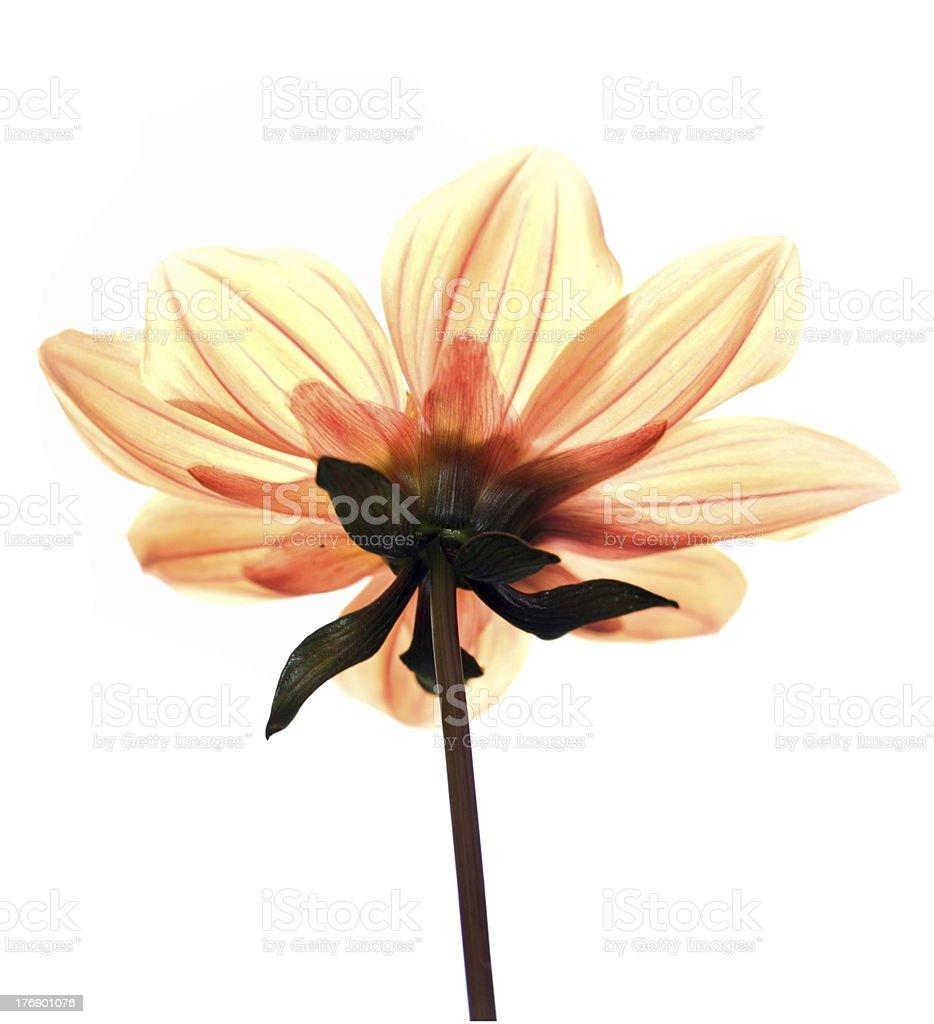 High key shot of Yellow Dahlia royalty-free stock photo