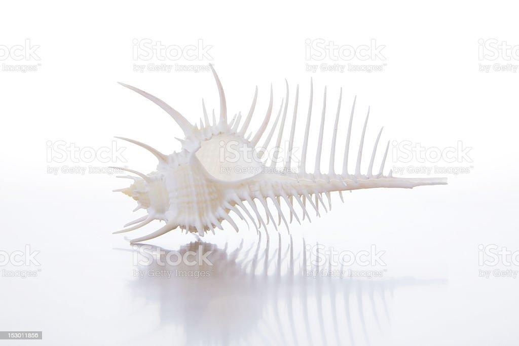 High Key Spiky Seashell royalty-free stock photo