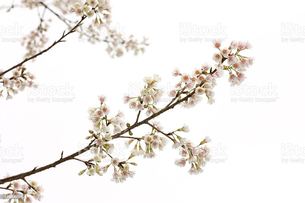 High key white cherry blossom royalty-free stock photo