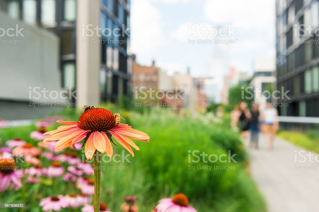 NYC High Line Park Vibrant Summer Echinacea Flowers Travel Destinations stock photo