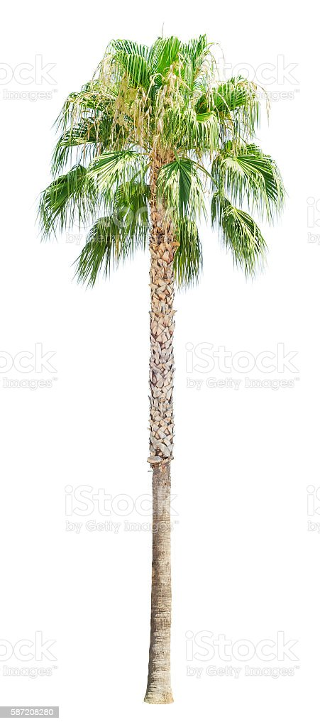 High palm tree isolated stock photo