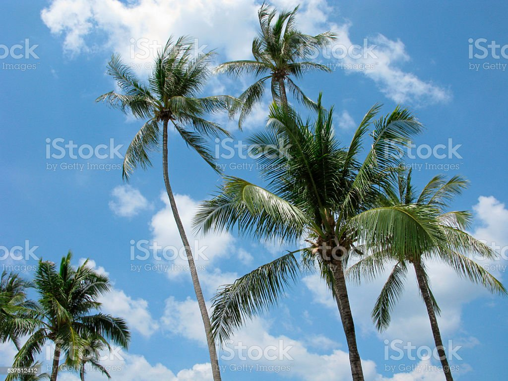 High palm trees on wind stock photo