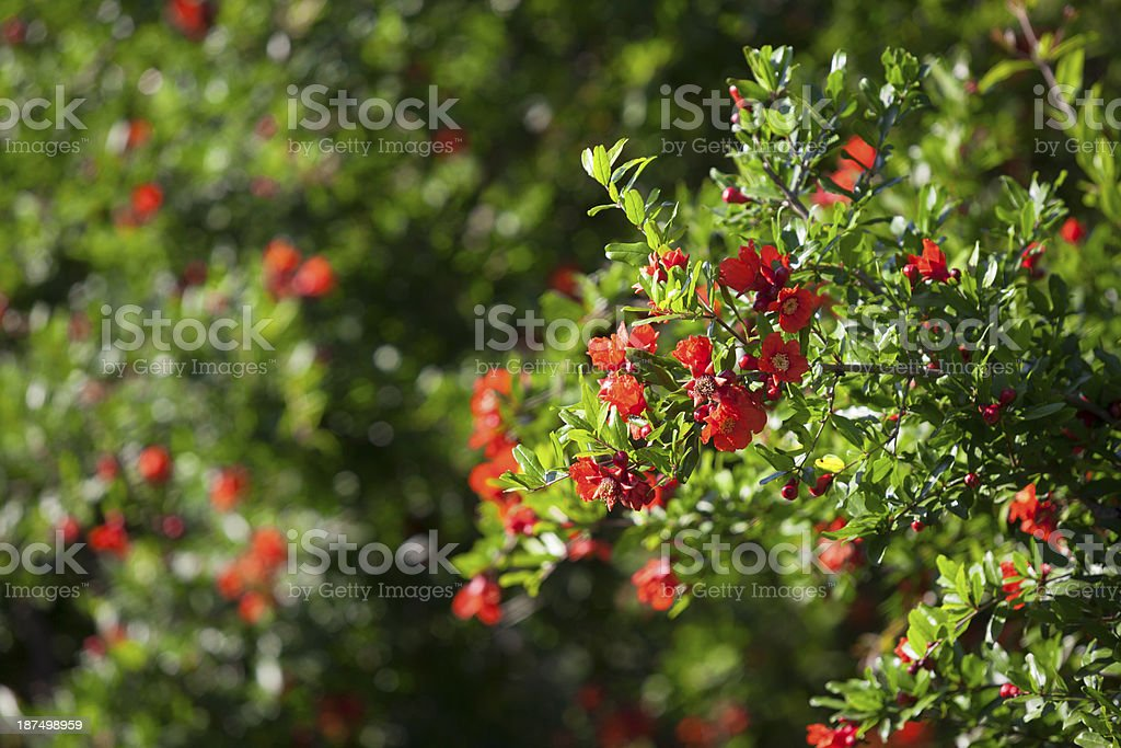 High quality picture of blossoming pomegranates stock photo