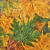 High Resolution Autumn Dry Maple Foliage Background