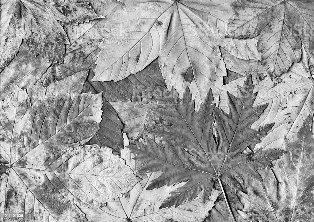 High Resolution Autumn Dry Maple Foliage B&W Background stock photo