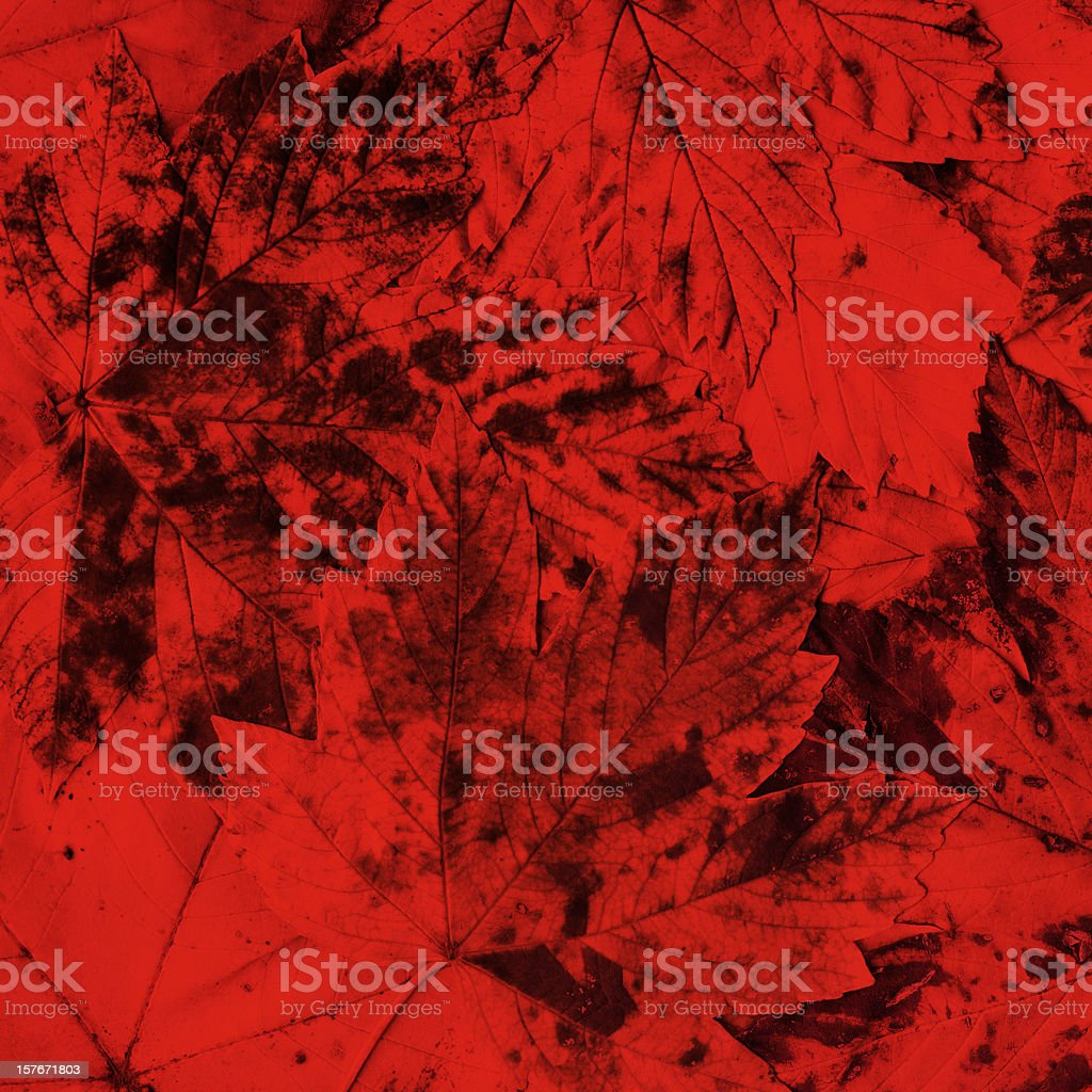 High Resolution Autumn Dry Maple Foliage Monochrome Red Background royalty-free stock photo