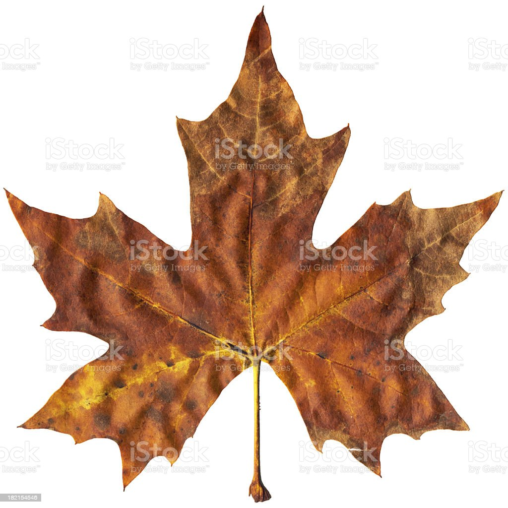 High Resolution Autumn Dry Maple Leaf Isolated On White Background stock photo
