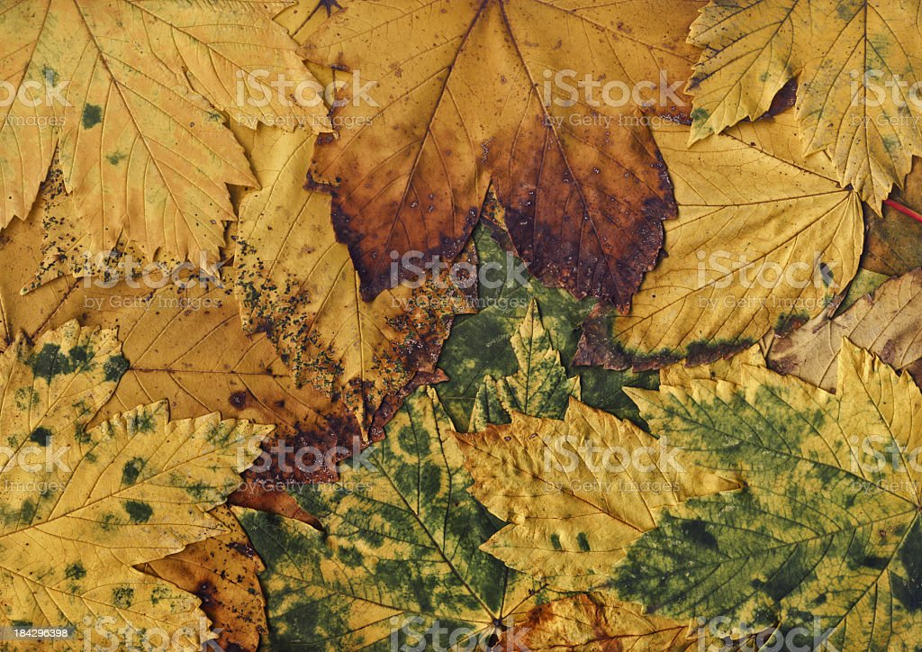 High Resolution Autumn Dry Maple Leaves Background royalty-free stock photo