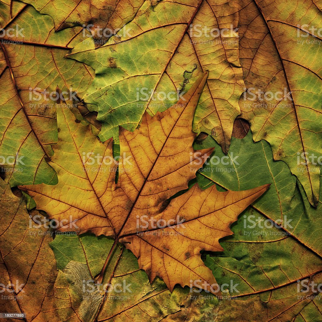 High Resolution Isolated Maple Dry Leaf On Autumn Foliage Background royalty-free stock photo