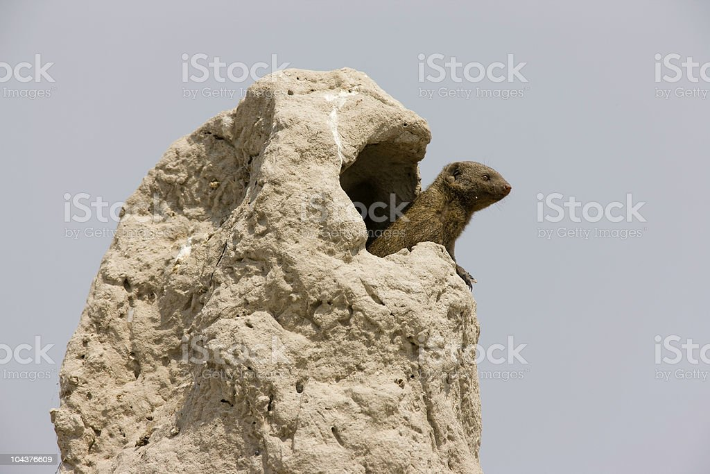 High Rise Mongoose stock photo