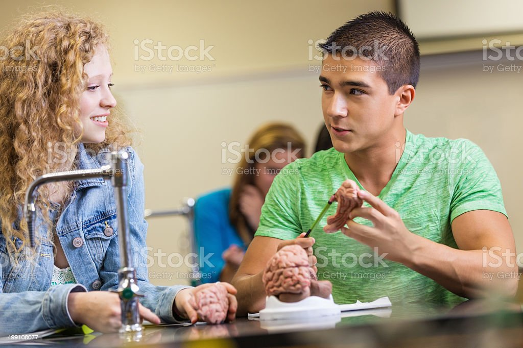 High school lab partners examining brain model educational toy royalty-free stock photo