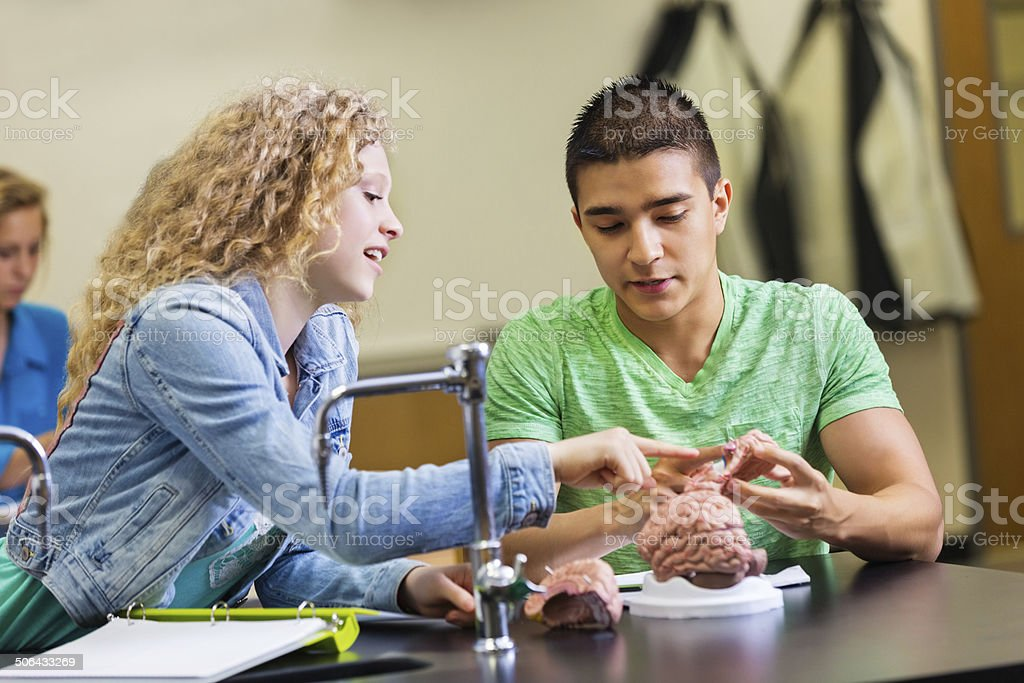 High school lab partners studying brain model in science class royalty-free stock photo