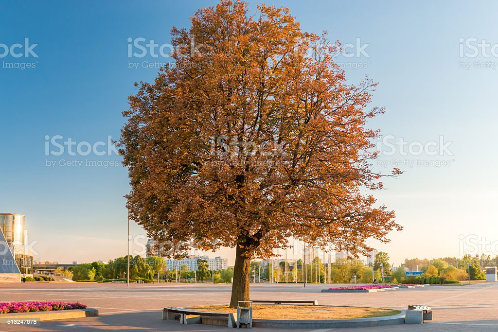 high spreading tree in a city park autumn evening stock photo