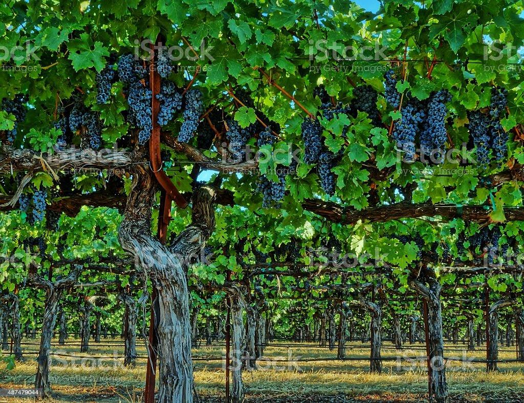 High Trained Vineyard stock photo