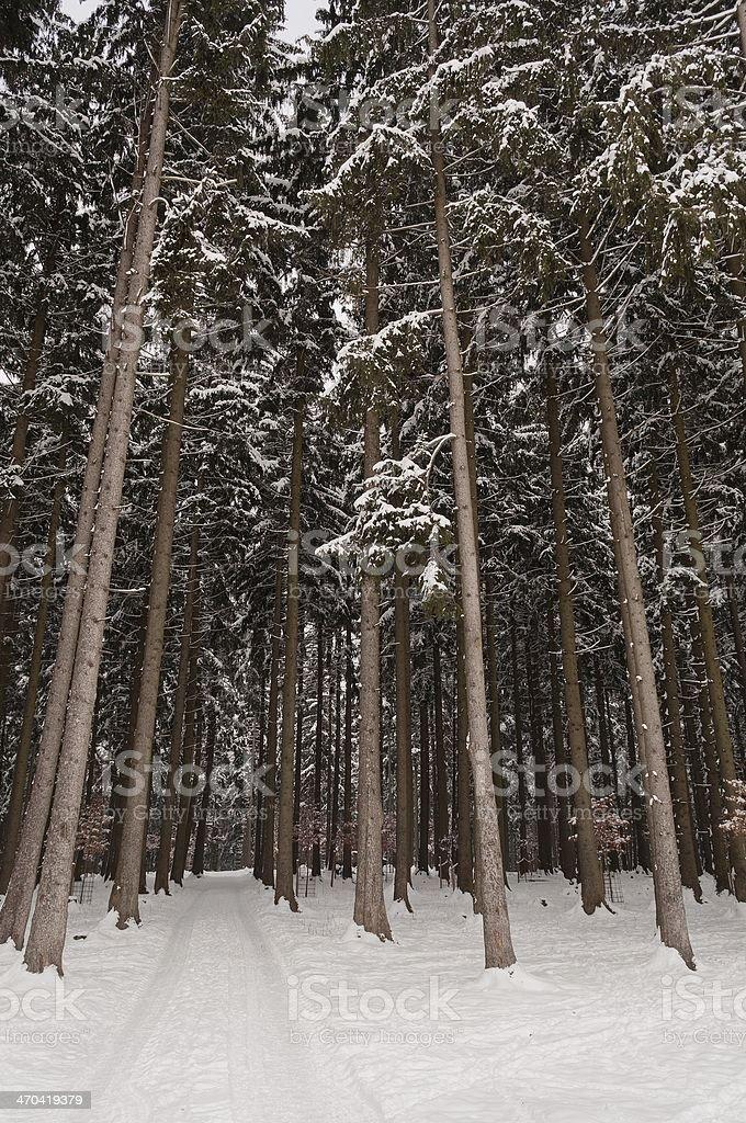 Wysokie drzewa w lesie w zimie zbiór zdjęć royalty-free