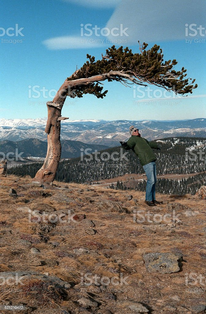 High winds blow bristlecone pine hiker Mount Evans Colorado stock photo