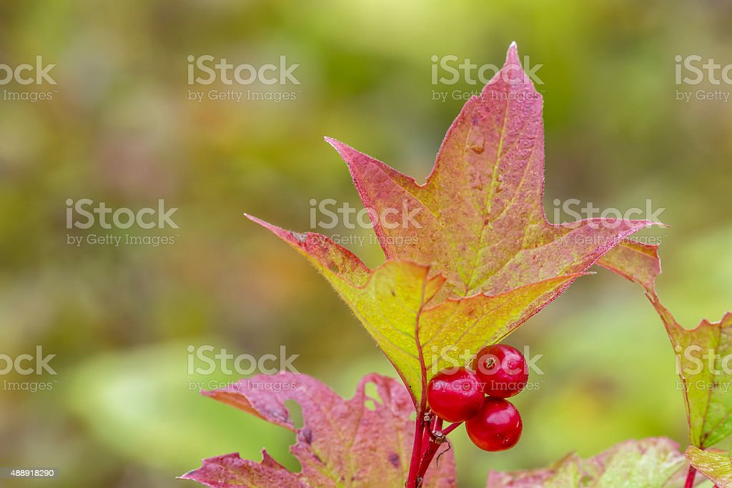 Highbush Cranberry Leaf and Berries in Fall stock photo