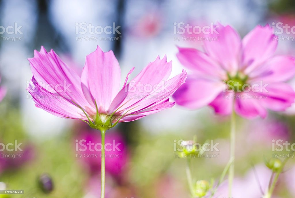High-Key Cosmos flower - II royalty-free stock photo