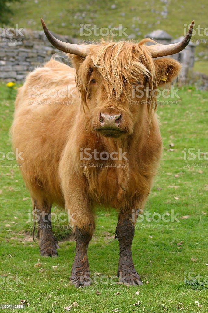 Highland aberdeen angus cow grazing green grass stock photo