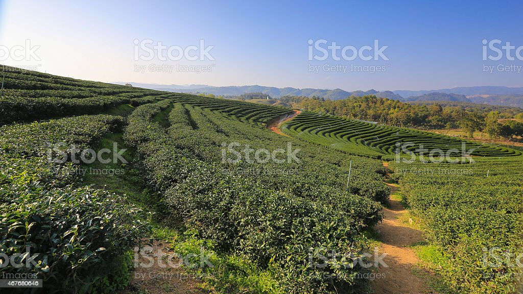 Highland Agriculture on tea plantation hills and sky. stock photo