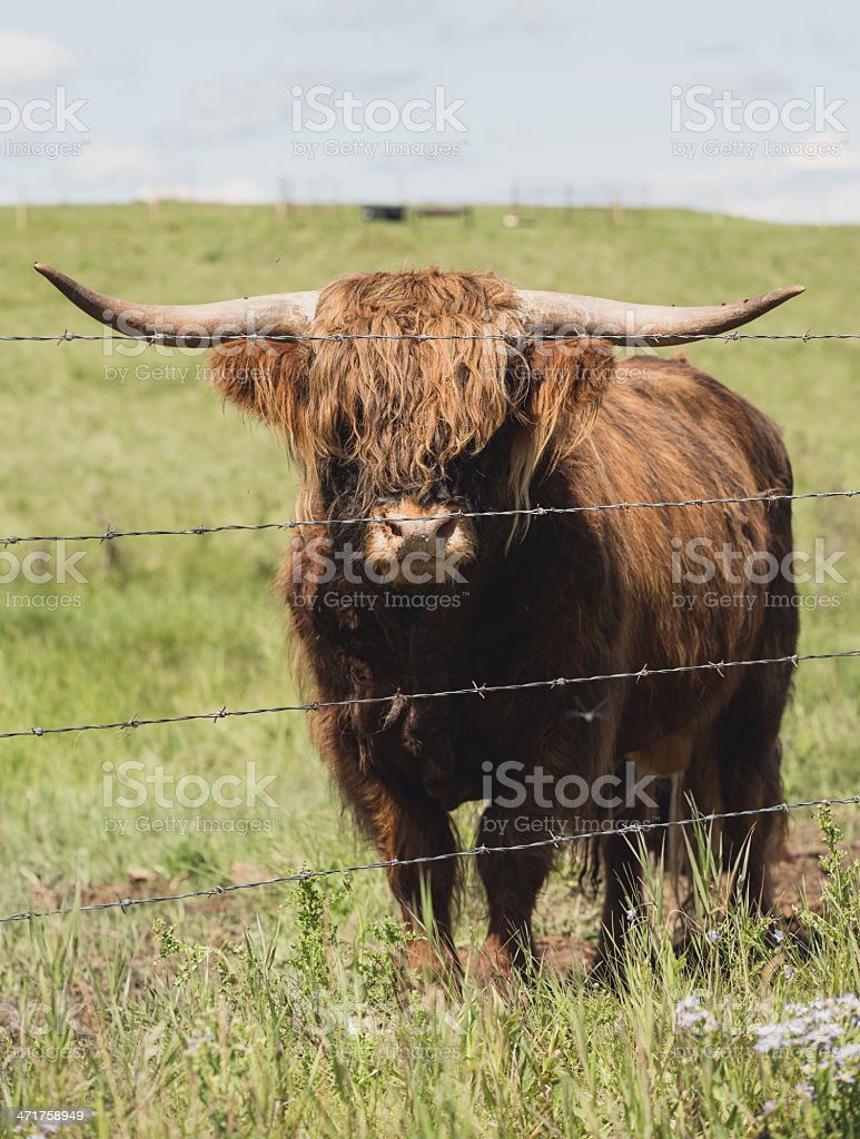 Highland Bull royalty-free stock photo