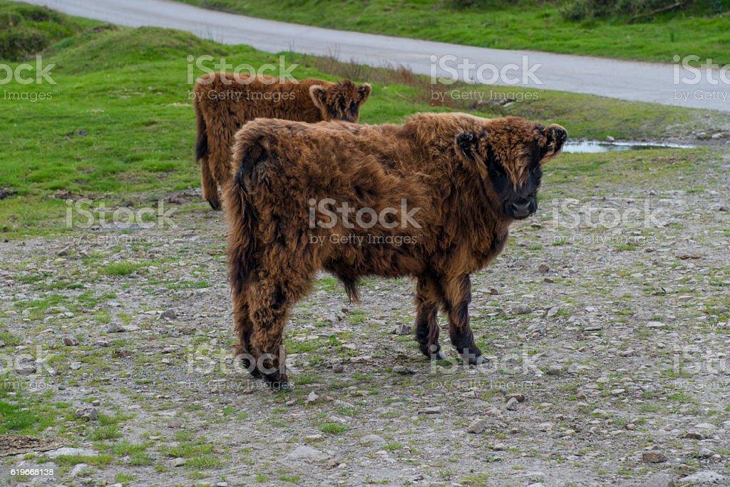 Highland calf stock photo