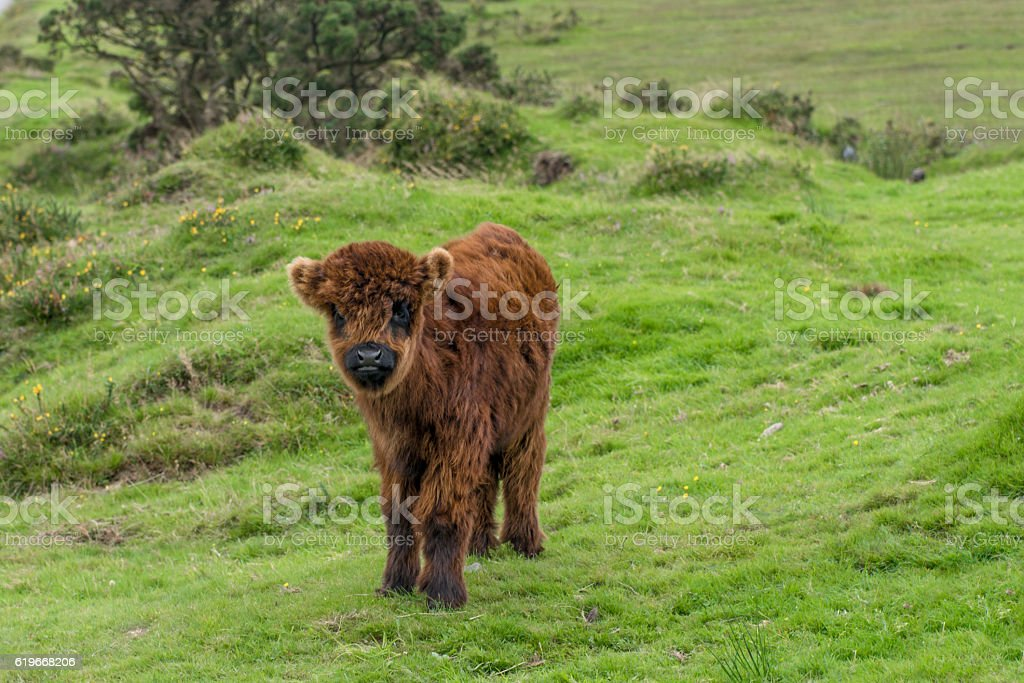 Highland calf royalty-free stock photo