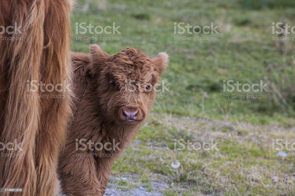 Highland cattle calf stock photo
