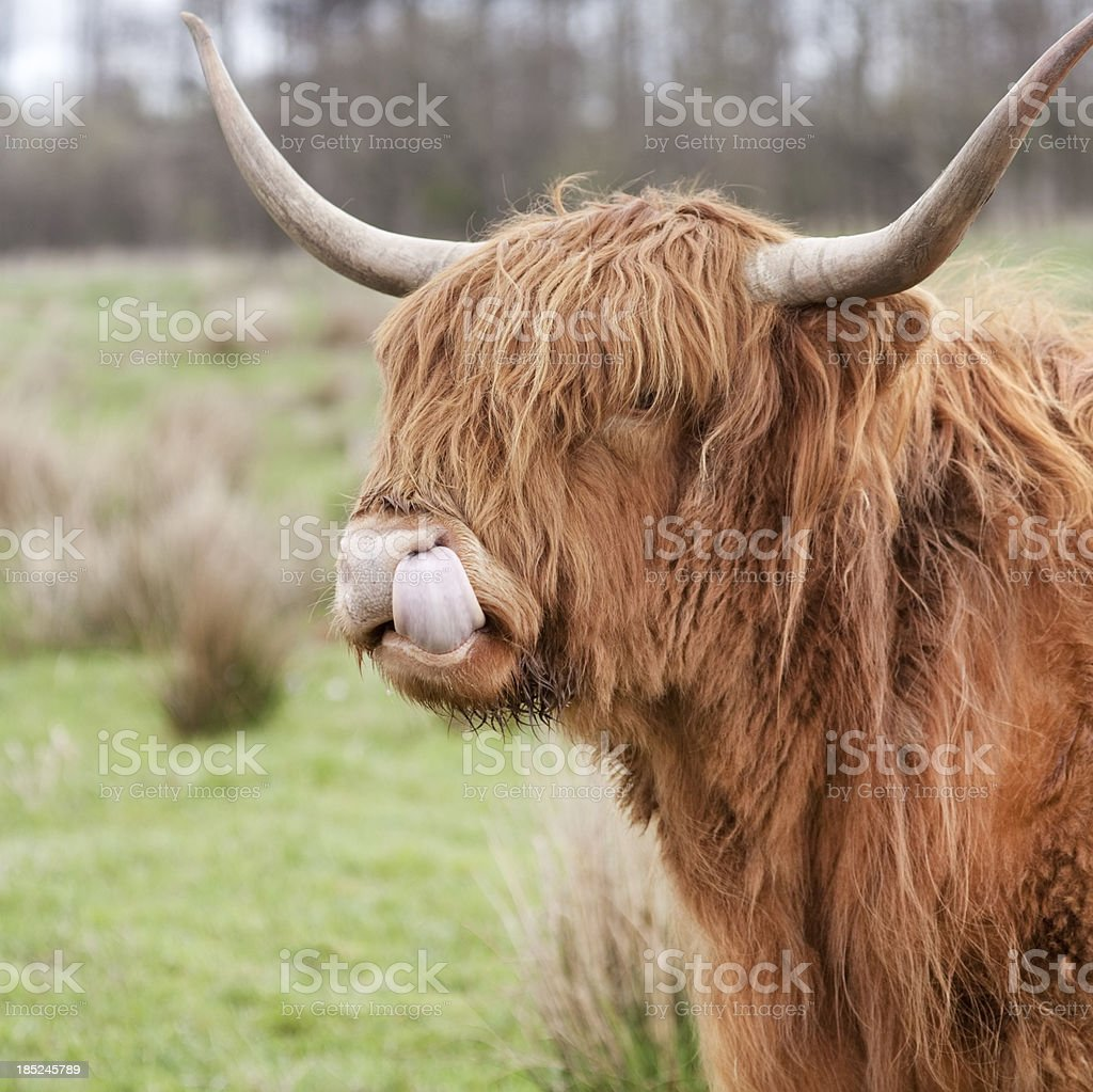 Highland cattle close-up stock photo