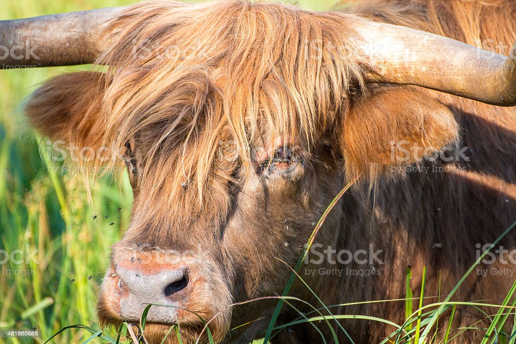 Highland cattle cow animal in green meadow filled of flies stock photo