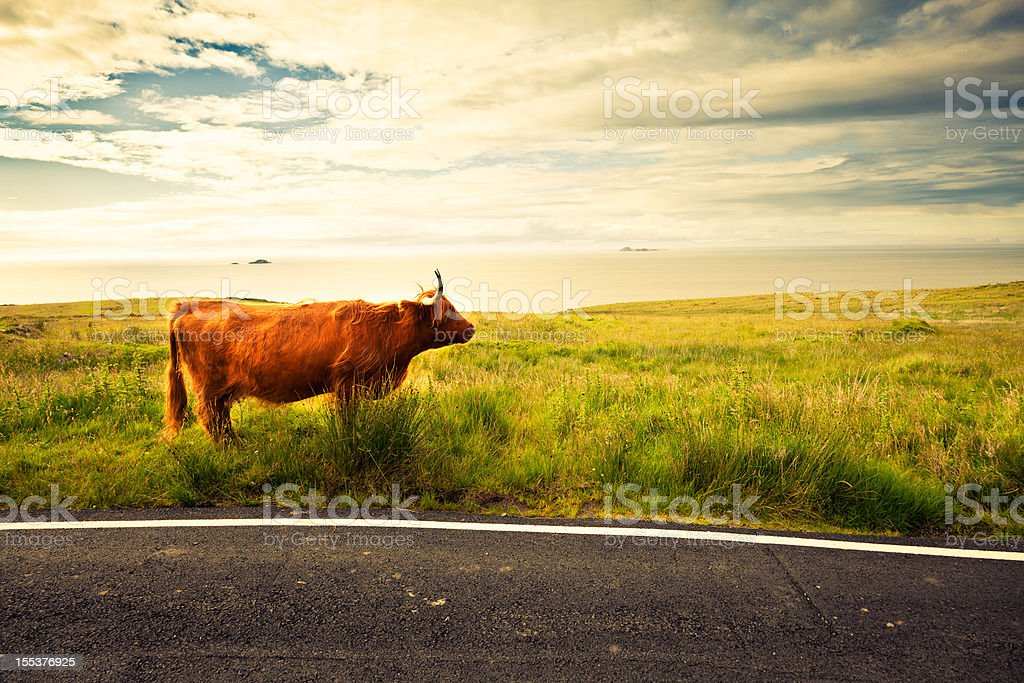 Highland Cattle cow in Scotland royalty-free stock photo