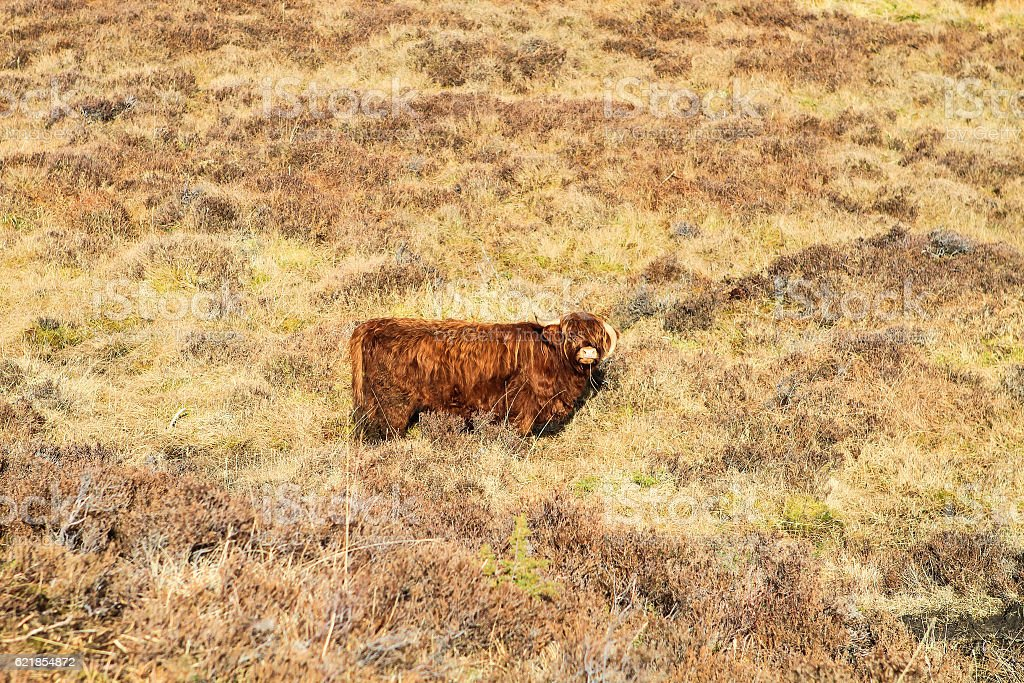 Highland cattle cow stock photo