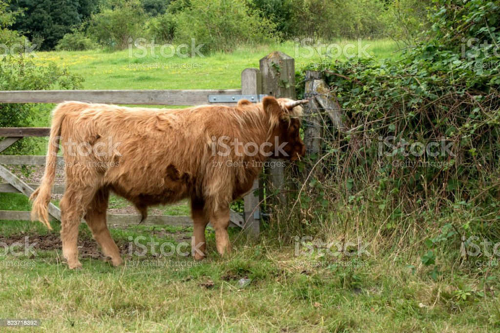 Highland cattle grazing by a wooden gate stock photo
