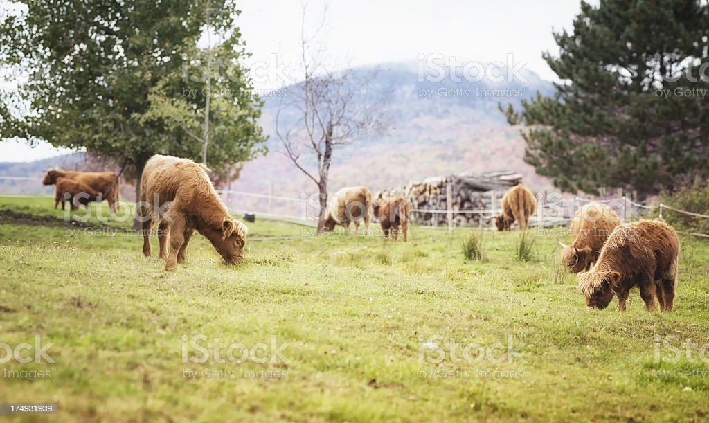 Highland cattle grazing in the Appalachian mountains royalty-free stock photo