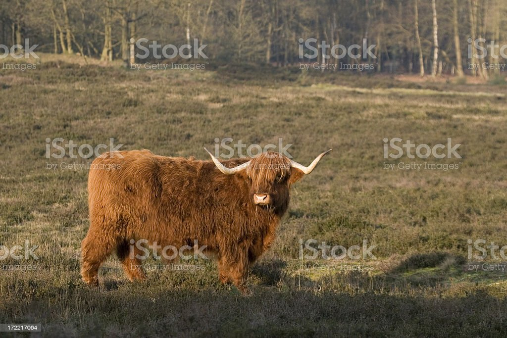 Highland Cattle in dutch wildlife reserve royalty-free stock photo