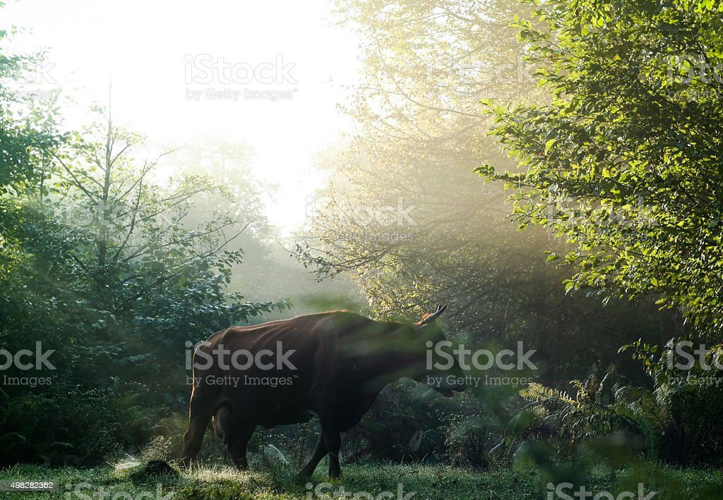 Highland cattle in the forest during a foggy sunrise stock photo