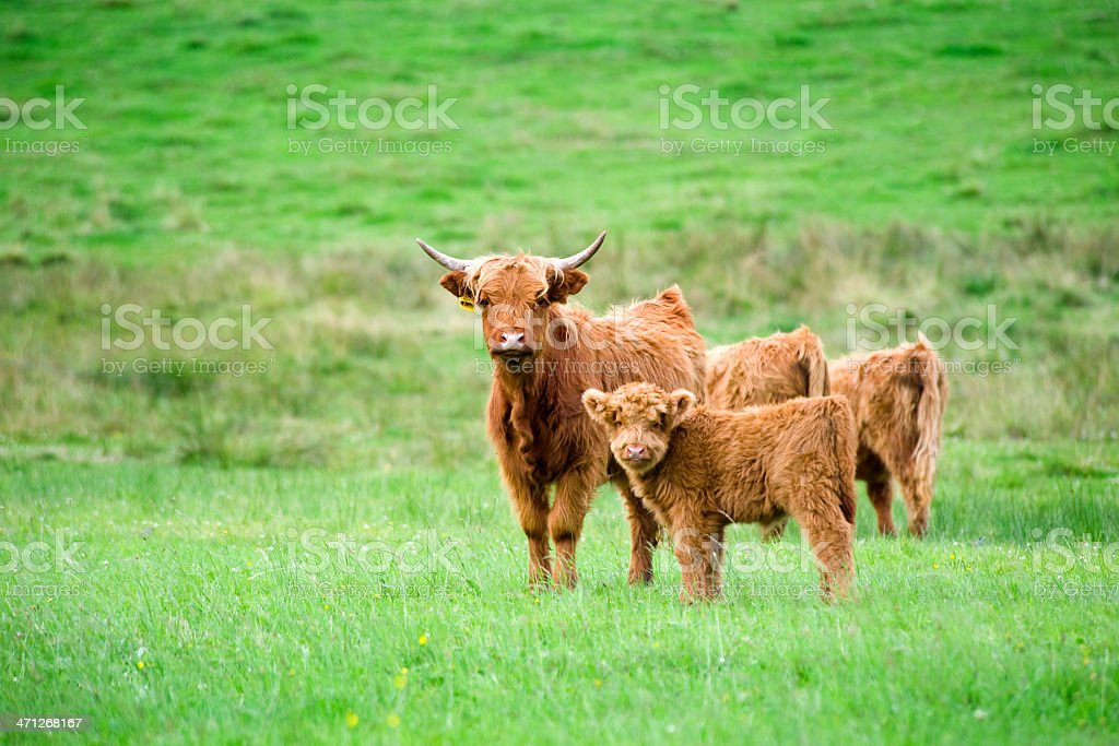 Highland cattle - mother and calf at a green pasture stock photo